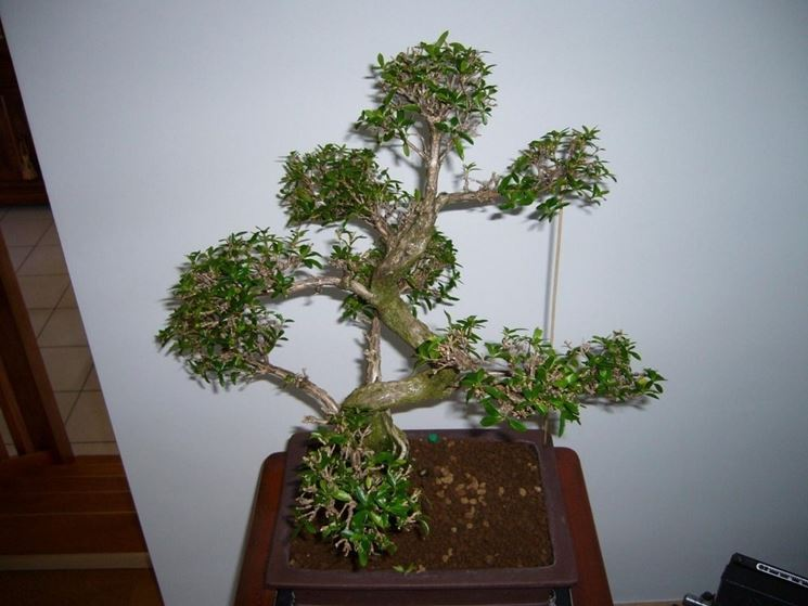 Serissa bonsai attrezzi e vasi per bonsai bonsai di for Bonsai vasi