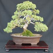 Attrezzi e vasi bonsai le ultime novit for Vasi per bonsai prezzi