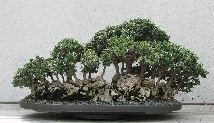 Pianta di Ulivo bonsai
