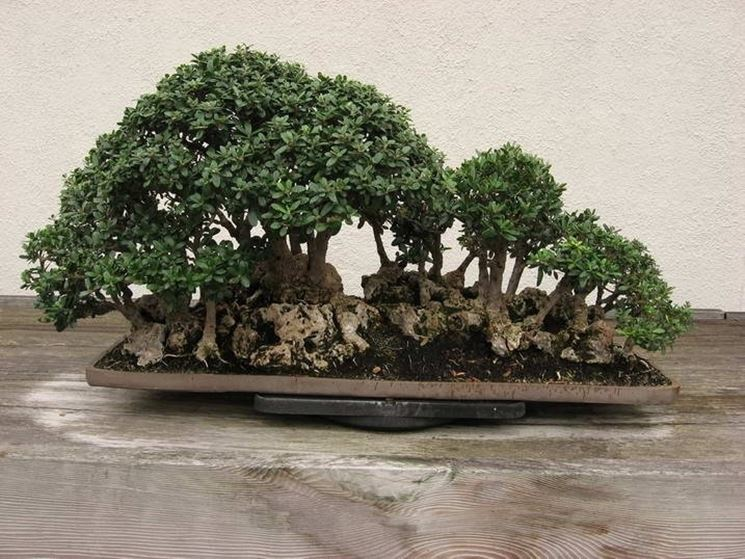 Ulivo bonsai attrezzi e vasi per bonsai for Olivo bonsai prezzo