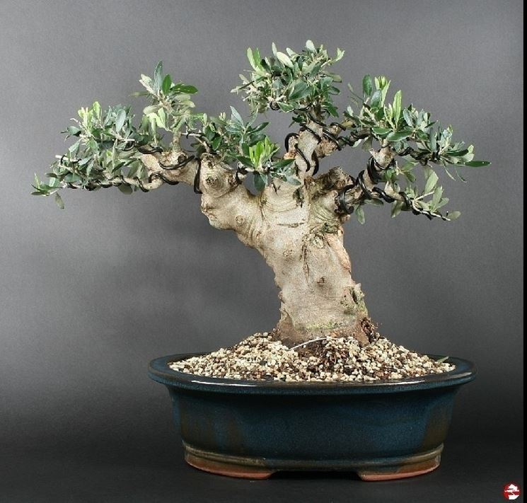 Ulivo bonsai attrezzi e vasi per bonsai for Piante per bonsai