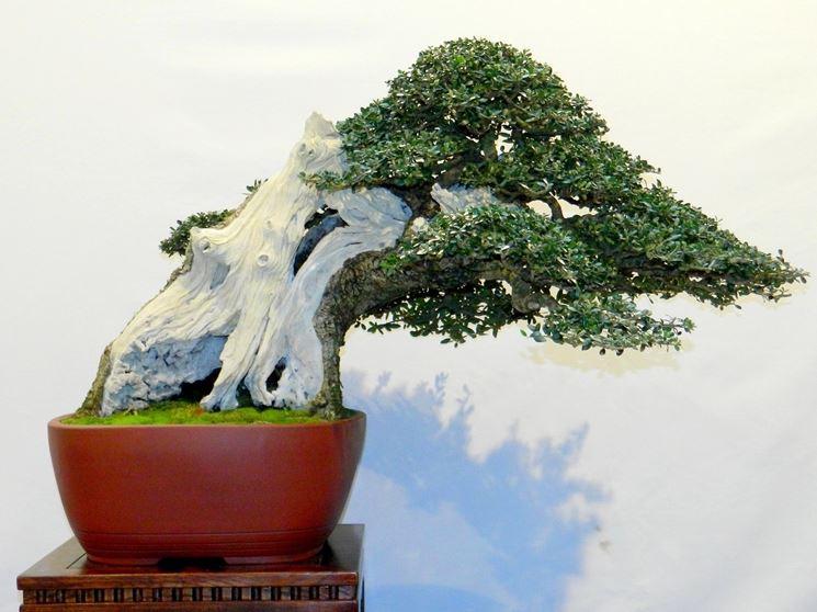 Esemplare di Ulivo bonsai