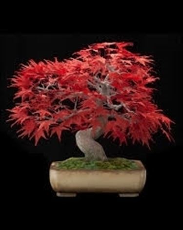 Esemplare di acero bonsai.