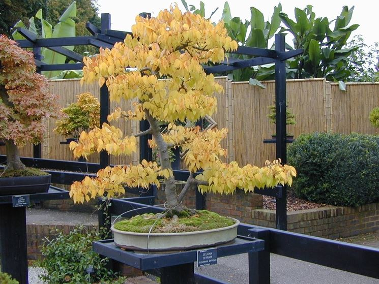 Zelkova Bonsai in autunno