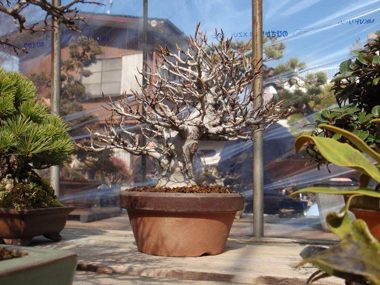 Zelkova Bonsai in inverno