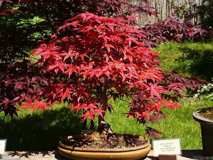 Curare bonsai acero rosso