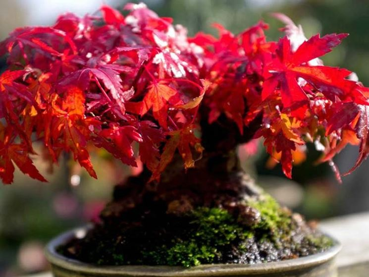 Malattie bonsai acero rosso
