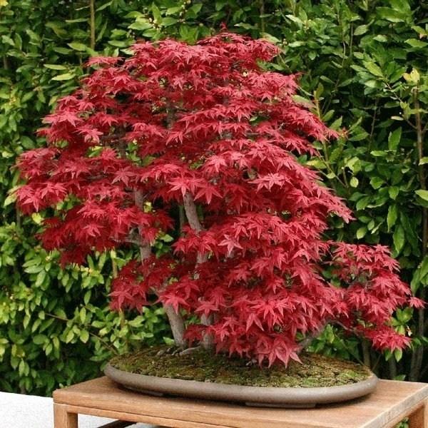 Bonsai acero rosso bonsai bonsai di acero rosso for Acero rosso canadese prezzo
