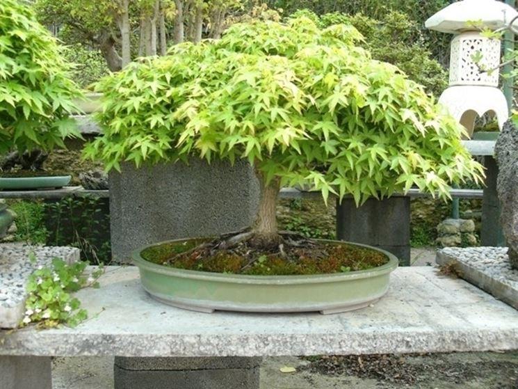 Bonsai di acero verde