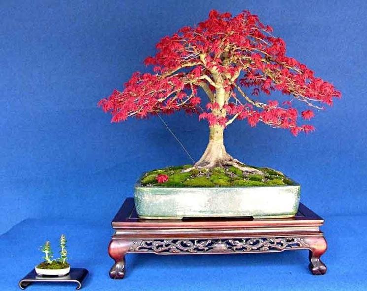 Acero palmato rosso