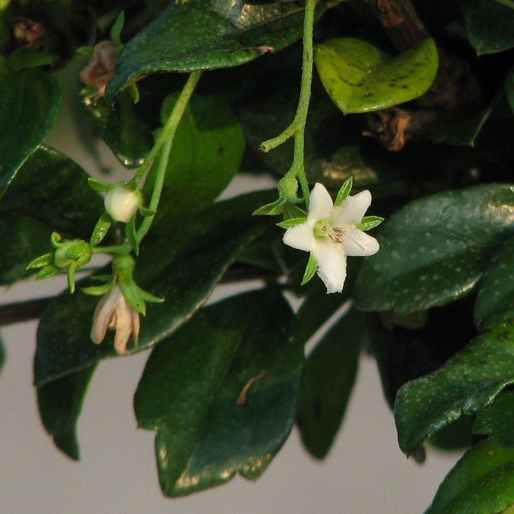 Fiori del bonsai Carmona