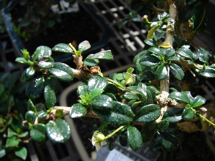 Foglie del bonsai Carmona