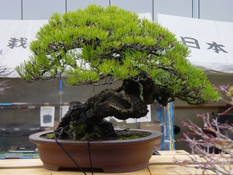 Un bellissimo bonsai giapponese