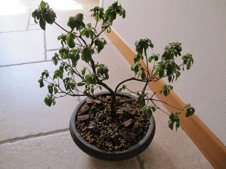 Rinvasare bonsai