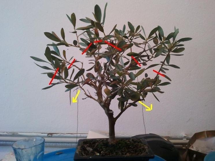 Esempio potatura bonsai