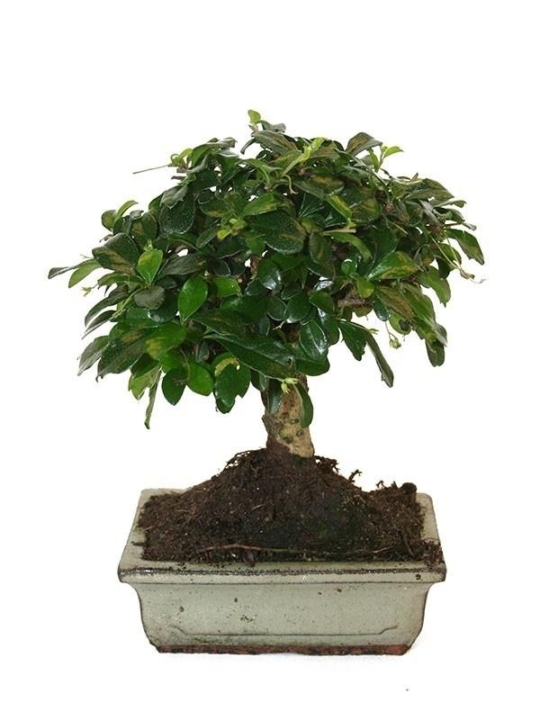 Bonsai da interno bonsai bonsai per appartamento for Bonsai da interno