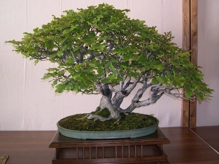 Faggio bonsai verde
