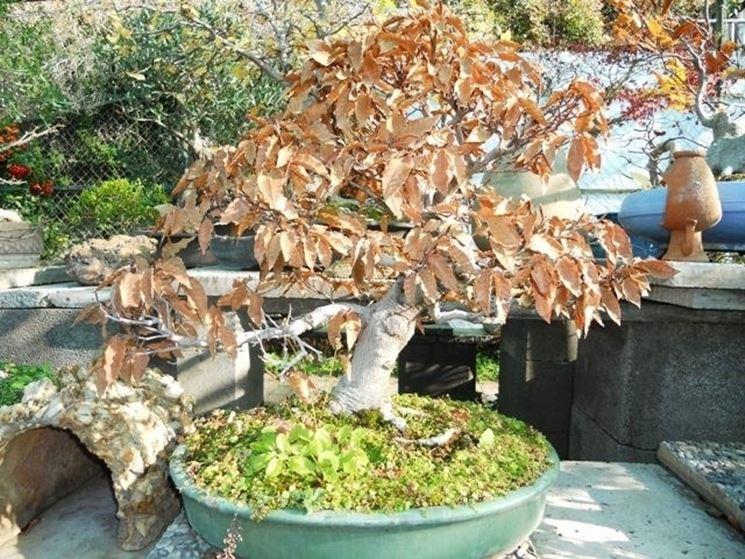Faggio bonsai con foglie caduche