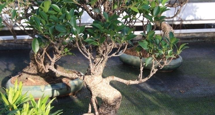 Altro bonsai Ficus retusa