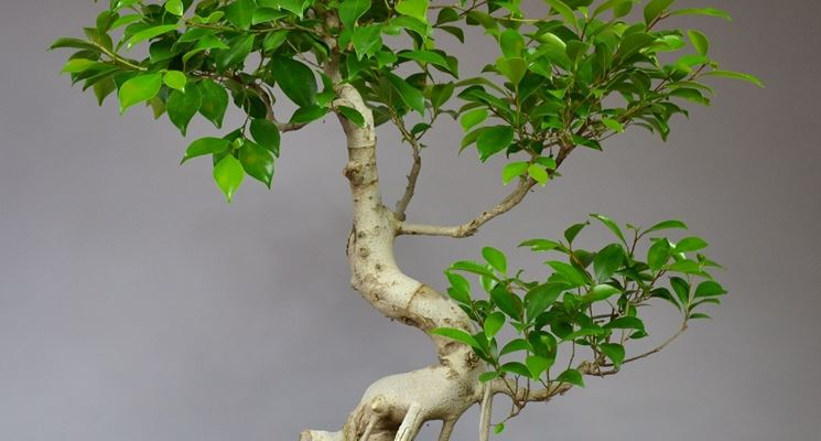 Splendido bonsai Ficus retusa