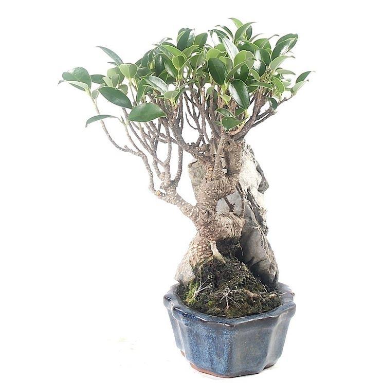 Ficus retusa con roccia