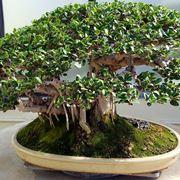 Esempi di bonsai ficus retusa