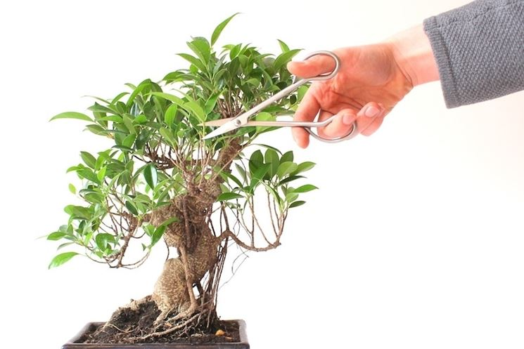 Potare il bonsai ficus