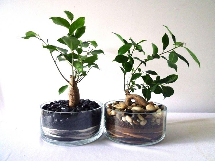 Concimare bonsai ficus