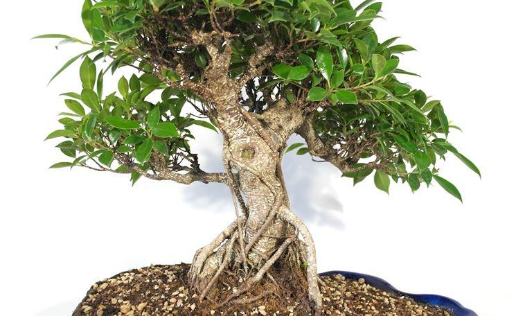 malattie bonsai ficus