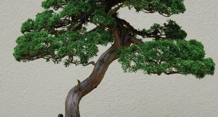 Bonsai ginepro con tronco curvo