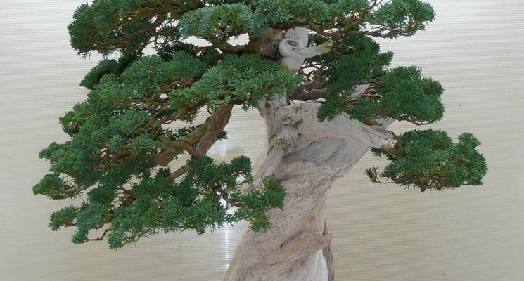 Altro esemplare di bonsai ginepro