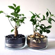 Due bonsai ginseng