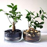 Due bonsai ginseng