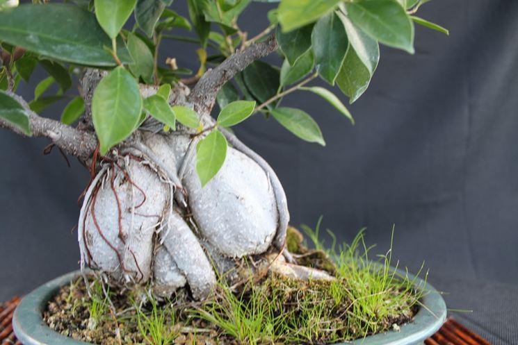 radici del bonsai ginseng