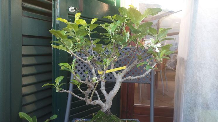 Malattie delle foglie di un bonsai ginseng