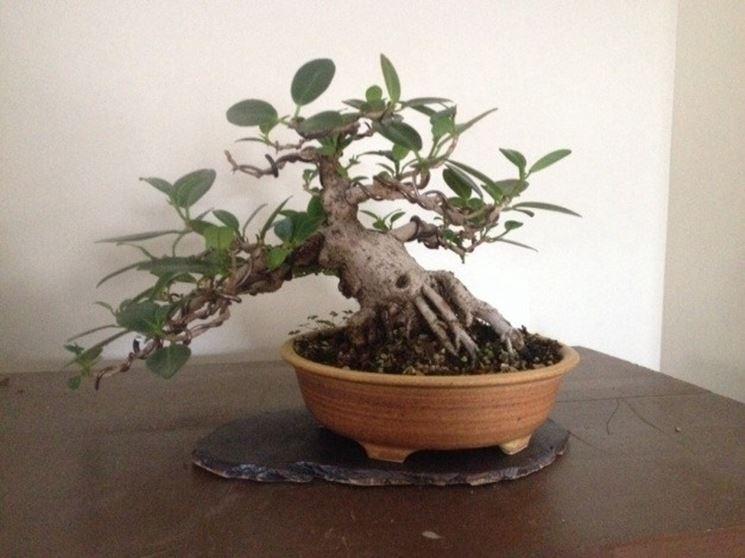 Un bonsai ginseng particolare