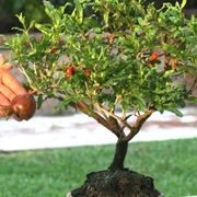 Bonsai di Melograno