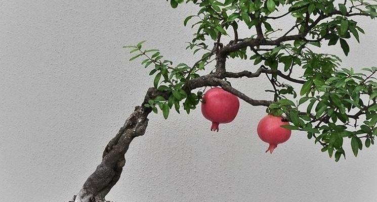 Un bell'esempio di melograno bonsai
