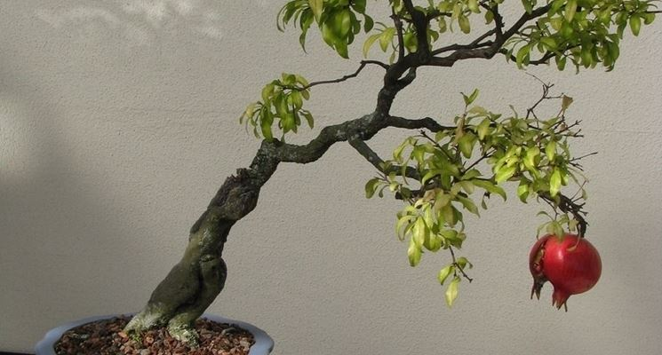 Bonsai melograno con tronco inclinato
