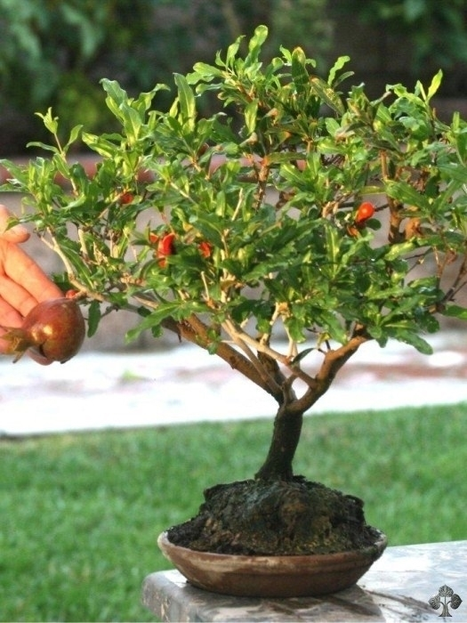 Bonsai melograno bonsai bonsai di melograno for Albero da frutto nano