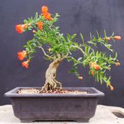bonsai melograno