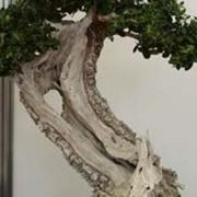 <b>Bonsai olivo</b>