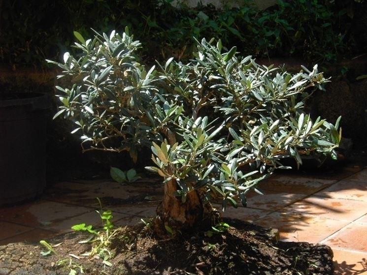 Bonsai olivo a terra