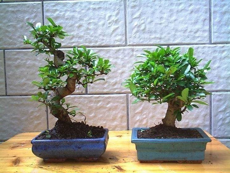 Piante Bonsai Prezzi : Bonsai prezzi costo dei