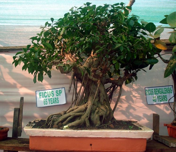 Un esemplare di Ficus benjamin