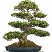 bonsai prezzo