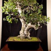 Maestoso bonsai quercia