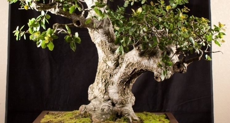 Maestoso bonsai quercia