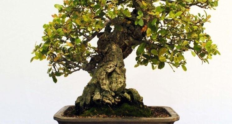 Possente bonsai quercia