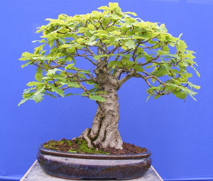 Splendido bonsai quercia